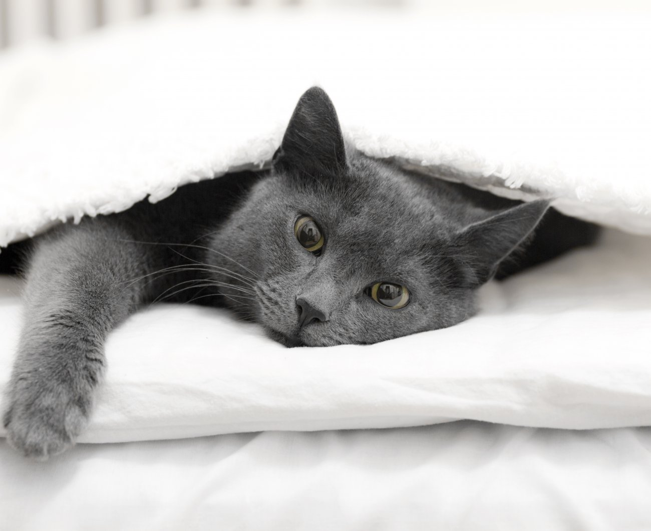 Grey cat lying under blanket on bed