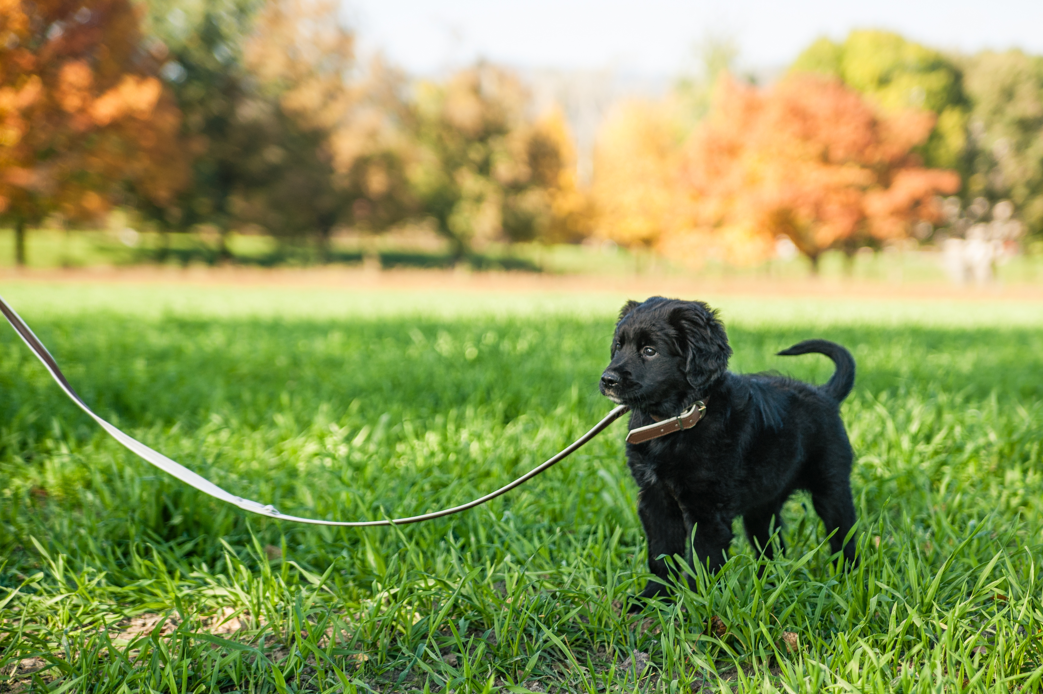 Small black dog on a lead