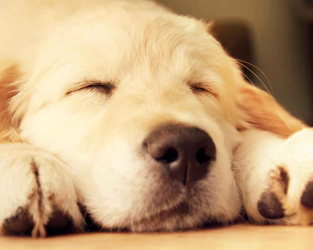 Sleeping golden retriever dog